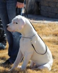 Bo (Dogo)