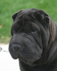 Sharp Shar Pei