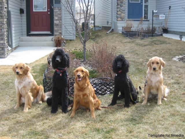 goldens-_amp_-poodles